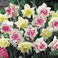 MIXED REPLETE/WHITE LION DOUBLE DAFFODILS